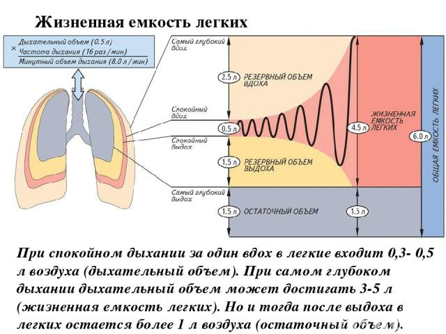 При спокойном дыхании за один вдох в легкие входит 0,3- 0,5 л воздуха (дыхательный объем). При самом глубоком дыхании дыхательный объем может достигать 3-5 л (жизненная емкость легких). Но и тогда после выдоха в легких остается более 1 л воздуха (ос…