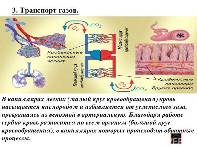 3. Транспорт газов. В капиллярах легких (малый круг кровообращения) кровь насыщается кислородом и избавляется от углекислого газа, превращаясь из венозной в артериальную. Благодаря работе сердца кровь разносится по всем органам (большой круг кровооб…