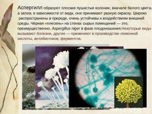 Аспергилл образуют плоские пушистые колонии, вначале белого цвета, а затем, в за