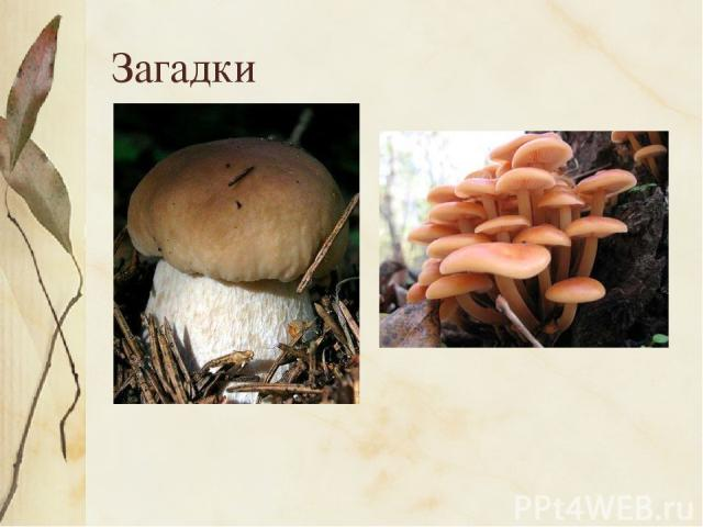 Загадки Царь грибов на толстой ножке – Самый лучший для лукошка. Он головку держит смело, Потому что гриб он … Мы весёлые ребята А зовут все нас… . Так назвали нас не зря: Мы на пне живём, друзья.