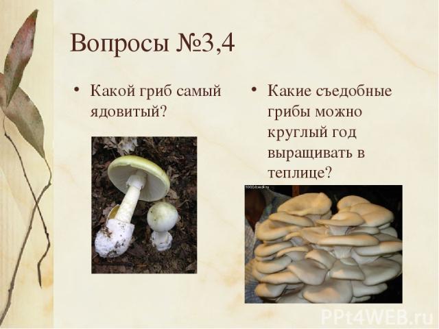 Вопросы №3,4 Какой гриб самый ядовитый? Какие съедобные грибы можно круглый год выращивать в теплице?
