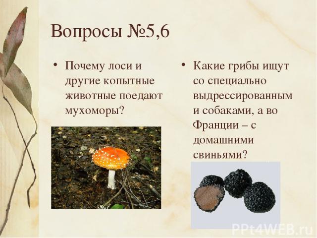 Вопросы №5,6 Почему лоси и другие копытные животные поедают мухоморы? Какие грибы ищут со специально выдрессированными собаками, а во Франции – с домашними свиньями?