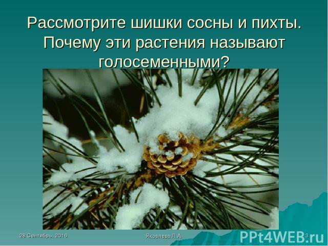 * Яковлева Л.А. * Рассмотрите шишки сосны и пихты. Почему эти растения называют голосеменными? Яковлева Л.А.