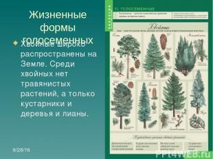 Жизненные формы голосеменных Хвойные широко распространены на Земле. Среди хвойн