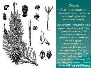 Сосна обыкновенная: 1 — охвоенная ветвь с женской шишечкой, мужскими колосками,