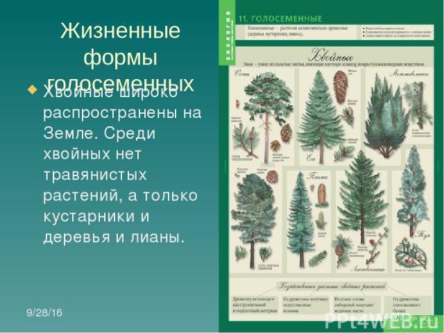 Жизненные формы голосеменных Хвойные широко распространены на Земле. Среди хвойных нет травянистых растений, а только кустарники и деревья и лианы.