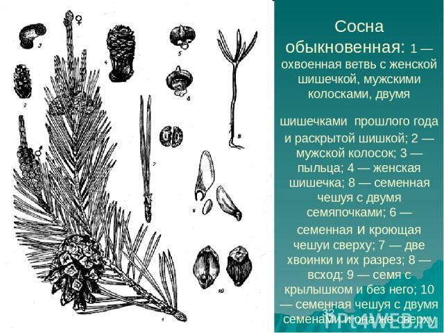 Сосна обыкновенная: 1 — охвоенная ветвь с женской шишечкой, мужскими колосками, двумя шишечками прошлого года и раскрытой шишкой; 2 — мужской колосок; 3 — пыльца; 4 — женская шишечка; 8 — семенная чешуя с двумя семяпочками; 6 — семенная и кроющая че…