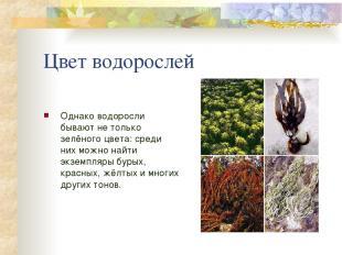 Цвет водорослей Однако водоросли бывают не только зелёного цвета: среди них можн