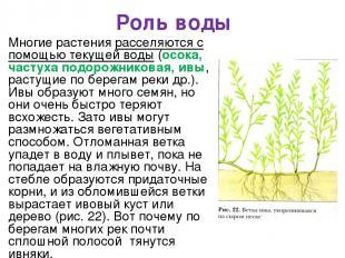 Роль воды Многие растения расселяются с помощью текущей воды (осока, частуха под