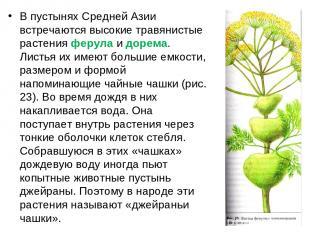 В пустынях Средней Азии встречаются высокие травянистые растения ферула и дорема