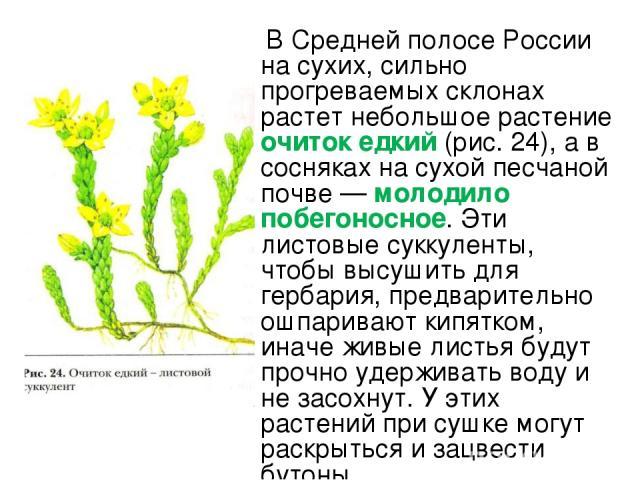 В Средней полосе России на сухих, сильно прогреваемых склонах растет небольшое растение очиток едкий (рис. 24), а в сосняках на сухой песчаной почве — молодило побегоносное. Эти листовые суккуленты, чтобы высушить для гербария, предварительно ошпари…