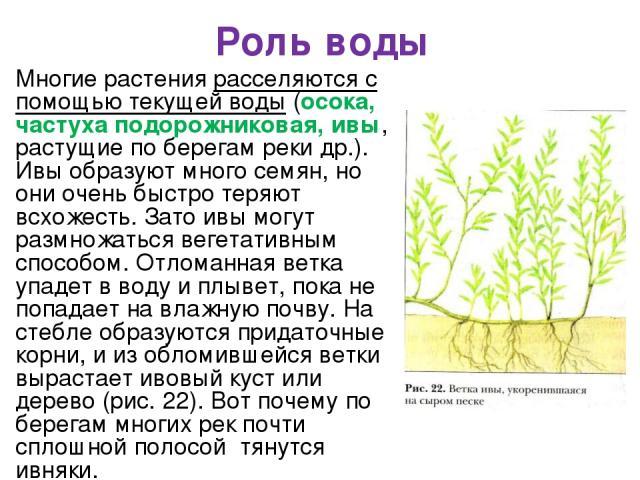 Роль воды Многие растения расселяются с помощью текущей воды (осока, частуха подорожниковая, ивы, растущие по берегам реки др.). Ивы образуют много семян, но они очень быстро теряют всхожесть. Зато ивы могут размножаться вегетативным способом. Отлом…