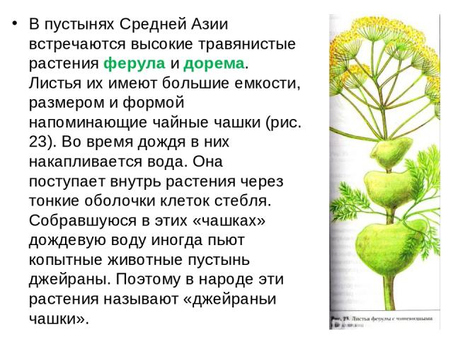 В пустынях Средней Азии встречаются высокие травянистые растения ферула и дорема. Листья их имеют большие емкости, размером и формой напоминающие чайные чашки (рис. 23). Во время дождя в них накапливается вода. Она поступает внутрь растения через то…