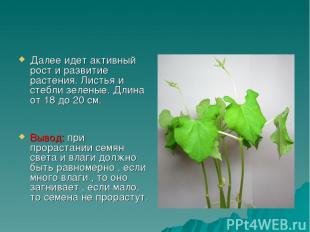 Далее идет активный рост и развитие растения. Листья и стебли зеленые. Длина от