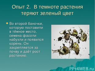 Опыт 2. В темноте растения теряют зеленый цвет Во второй баночке, которую постав