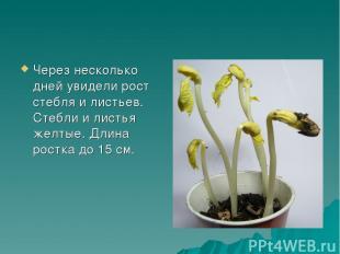 Через несколько дней увидели рост стебля и листьев. Стебли и листья желтые. Длин