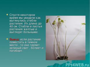 Спустя некоторое время мы увидели как вытянулись стебли растения. Их длина до 40