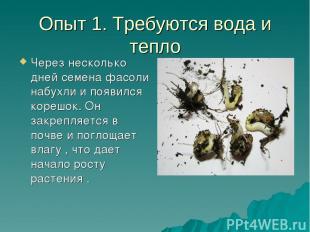 Опыт 1. Требуются вода и тепло Через несколько дней семена фасоли набухли и появ