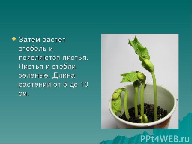 Затем растет стебель и появляются листья. Листья и стебли зеленые. Длина растений от 5 до 10 см.