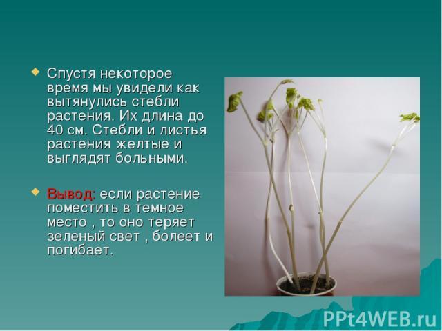 Спустя некоторое время мы увидели как вытянулись стебли растения. Их длина до 40 см. Стебли и листья растения желтые и выглядят больными. Вывод: если растение поместить в темное место , то оно теряет зеленый свет , болеет и погибает.