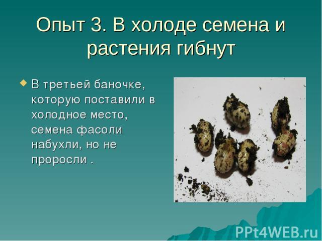 Опыт 3. В холоде семена и растения гибнут В третьей баночке, которую поставили в холодное место, семена фасоли набухли, но не проросли .