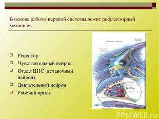 В основе работы нервной системы лежит рефлекторный механизм Рецептор Чувствитель