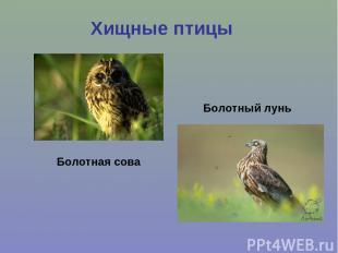 Хищные птицы Болотная сова Болотный лунь