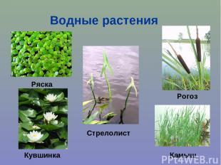 Водные растения Ряска Кувшинка Стрелолист Рогоз Камыш