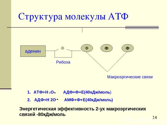 Структура молекулы АТФ аденин Ф Ф Ф Рибоза Макроэргические связи АТФ+Н 2О АДФ+Ф+Е(40кДж/моль) 2. АДФ+Н 2О АМФ+Ф+Е(40кДж/моль) Энергетическая эффективность 2-ух макроэргических связей -80кДж/моль