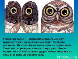У бабочки-совы — нимфалиды калиго из Перу— крупные глазки на крыльях «смотрят в