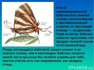 У этой южноамериканской бабочки есть ложная голова, расположенная с противополож