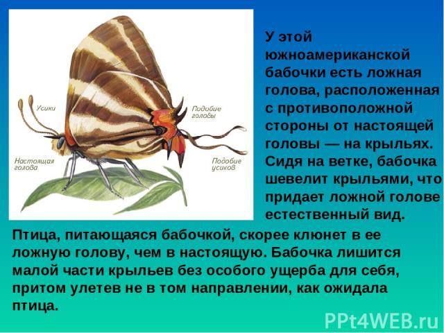 У этой южноамериканской бабочки есть ложная голова, расположенная с противоположной стороны от настоящей головы — на крыльях. Сидя на ветке, бабочка шевелит крыльями, что придает ложной голове естественный вид. Птица, питающаяся бабочкой, скорее клю…