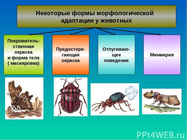 Некоторые формы морфологической адаптации у животных Покровитель- ственная окраска и форма тела ( маскировка) Предостере- гающая окраска Отпугиваю- щее поведение Мимикрия
