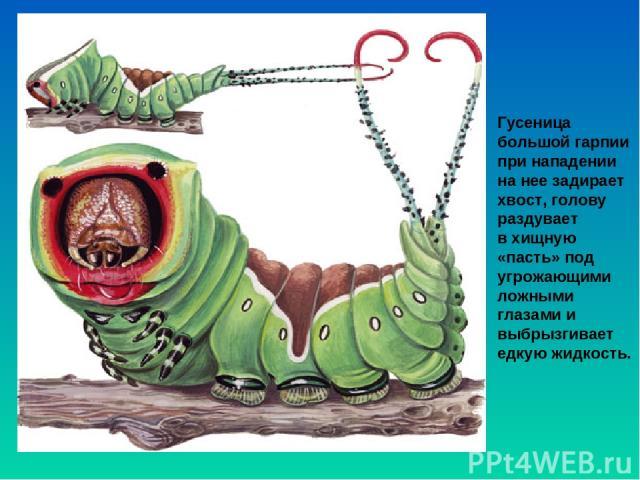Гусеница большой гарпии при нападении на нее задирает хвост, голову раздувает вхищную «пасть» под угрожающими ложными глазами и выбрызгивает едкую жидкость.