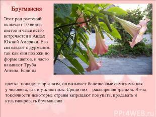 Бругмансия Этот род растений включает 10 видов цветов и чаще всего встречается в