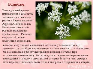 Болиголов Этот ядовитый цветок принадлежит к семейству зонтичных и в основном ра