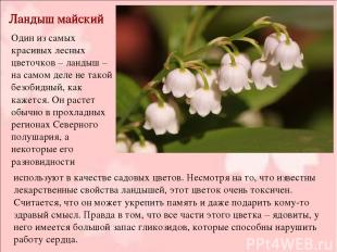 Ландыш майский Один из самых красивых лесных цветочков – ландыш – на самом деле