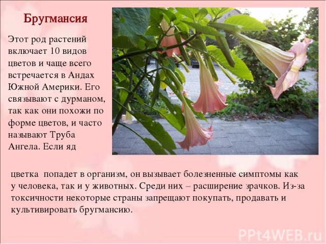 Бругмансия Этот род растений включает 10 видов цветов и чаще всего встречается в Андах Южной Америки. Его связывают с дурманом, так как они похожи по форме цветов, и часто называют Труба Ангела. Если яд цветка попадет в организм, он вызывает болезне…