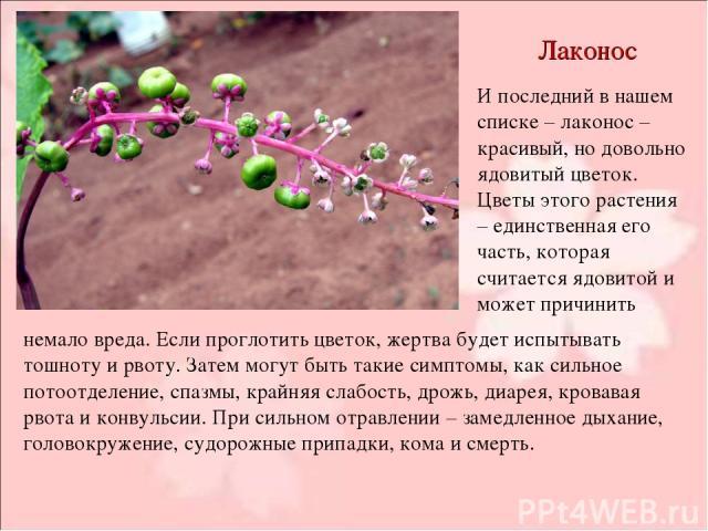 Лаконос И последний в нашем списке – лаконос – красивый, но довольно ядовитый цветок. Цветы этого растения – единственная его часть, которая считается ядовитой и может причинить немало вреда. Если проглотить цветок, жертва будет испытывать тошноту и…
