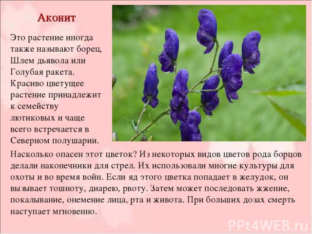 Аконит Это растение иногда также называют борец, Шлем дьявола или Голубая ракета. Красиво цветущее растение принадлежит к семейству лютиковых и чаще всего встречается в Северном полушарии. Насколько опасен этот цветок? Из некоторых видов цветов рода…