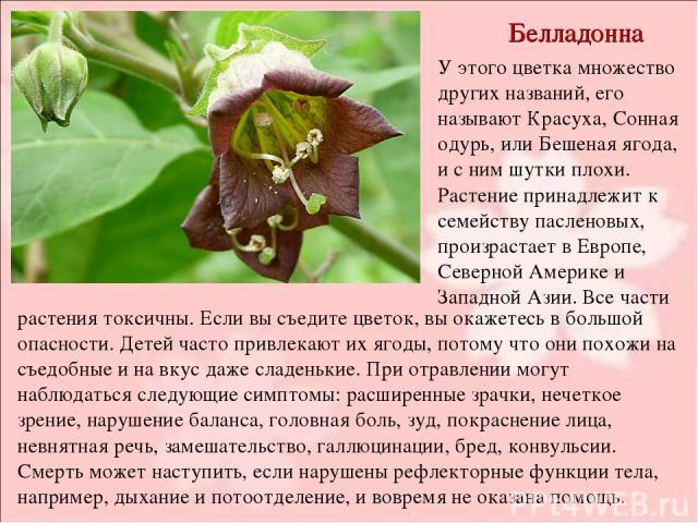 Белладонна У этого цветка множество других названий, его называют Красуха, Сонная одурь, или Бешеная ягода, и с ним шутки плохи. Растение принадлежит к семейству пасленовых, произрастает в Европе, Северной Америке и Западной Азии. Все части растения…