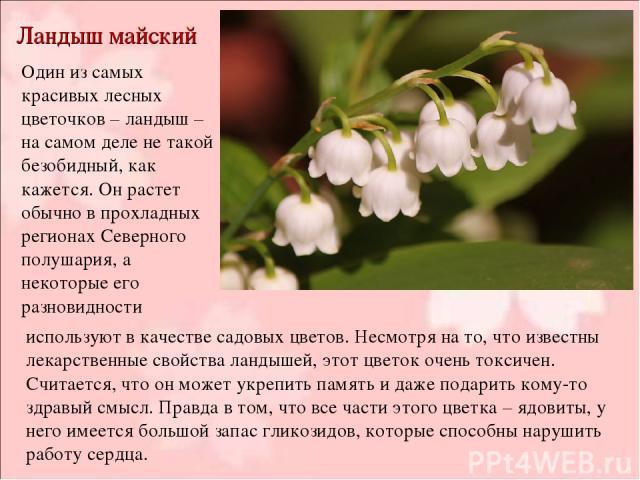 Ландыш майский Один из самых красивых лесных цветочков – ландыш – на самом деле не такой безобидный, как кажется. Он растет обычно в прохладных регионах Северного полушария, а некоторые его разновидности используют в качестве садовых цветов. Несмотр…