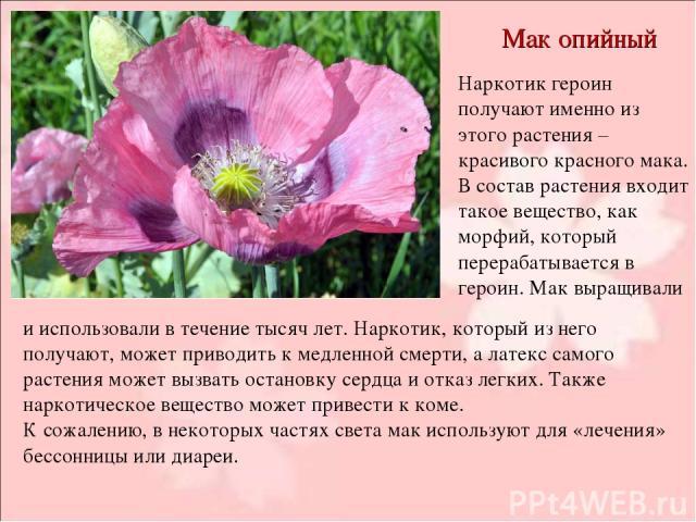 Мак опийный Наркотик героин получают именно из этого растения – красивого красного мака. В состав растения входит такое вещество, как морфий, который перерабатывается в героин. Мак выращивали и использовали в течение тысяч лет. Наркотик, который из …