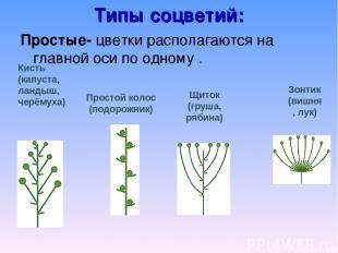 Типы соцветий: Простые- цветки располагаются на главной оси по одному . Кисть (к