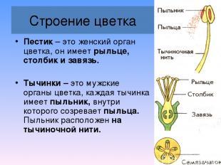 Строение цветка Пестик – это женский орган цветка, он имеет рыльце, столбик и за