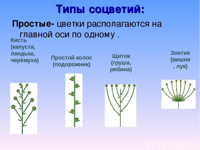 Типы соцветий: Простые- цветки располагаются на главной оси по одному . Кисть (капуста, ландыш, черёмуха) Простой колос (подорожник) Щиток (груша, рябина) Зонтик (вишня, лук)