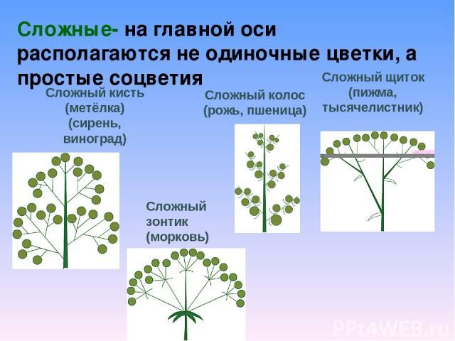 Сложные- на главной оси располагаются не одиночные цветки, а простые соцветия Сложный кисть (метёлка) (сирень, виноград) Сложный колос (рожь, пшеница) Сложный щиток (пижма, тысячелистник) Сложный зонтик (морковь)