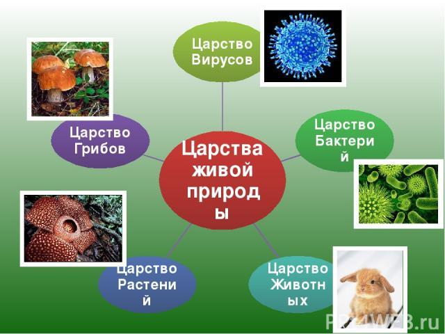 Царства живой природы Царство Вирусов Царство Бактерий Царство Животных Царство Растений Царство Грибов