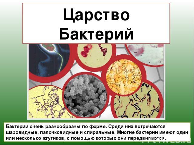 Царство Бактерий Бактерии очень разнообразны по форме. Среди них встречаются шаровидные, палочковидные и спиральные. Многие бактерии имеют один или несколько жгутиков, с помощью которых они передвигаются.