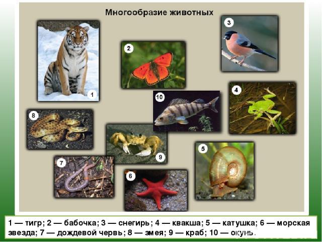 1 — тигр; 2 — бабочка; 3 — снегирь; 4 — квакша; 5 — катушка; 6 — морская звезда; 7 — дождевой червь; 8 — змея; 9 — краб; 10 — окунь.